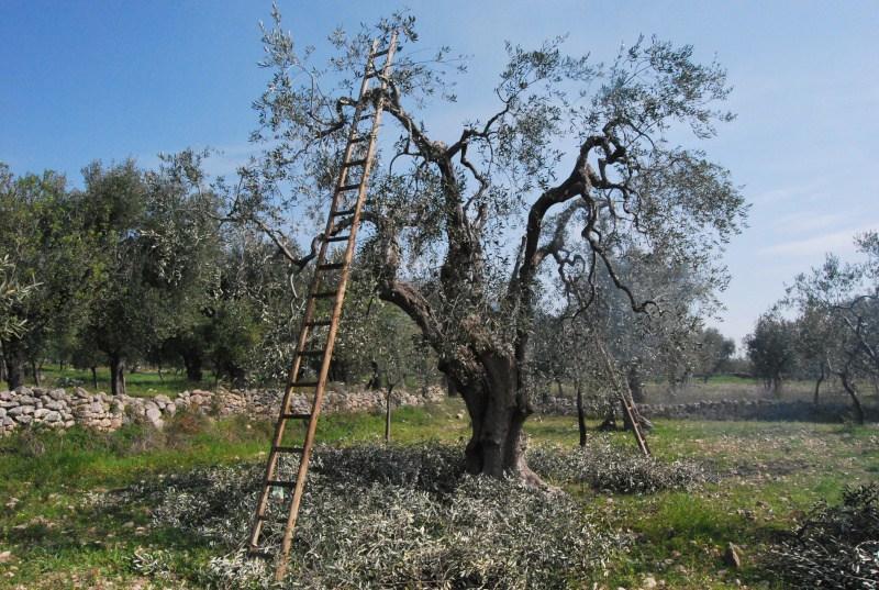 potatura-ulivo-Toscano-olio